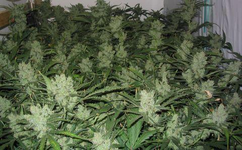 marihuanamedicinal01 Las propiedades medicinales de la marihuana