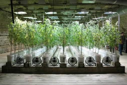 Ardió plantación de marihuana